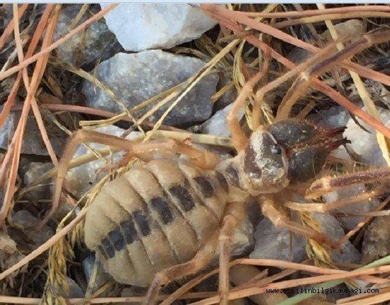 Aman Dikkat! Eşmekaya'da Tehlikeli Sarıkız örümceği görüldü