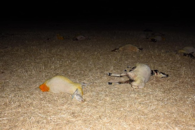 Eskil'de 164 koyun telef oldu (Videolu Haber)